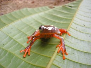 A tree frog with one eye, red and white in color looking at camera