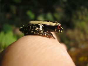 Dendropsophus rhodopeplis juvenile