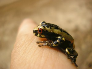 A black and gold tree frog with red eye