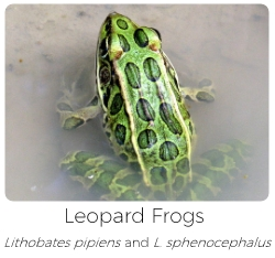 Leopard frog care sheet