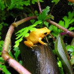 Female golden mantella on driftwood in terrarium