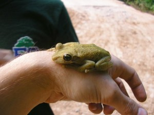 Large Osteocephalus tree frog on hand