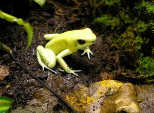 The terrible poison dart frog, Phyllobates terribilis