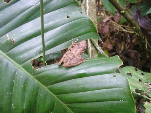 A frog Scinax garbei on a green leaf