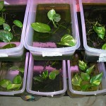 Plastic bins housing mantella tadpoles planted with pothos