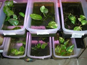 Plastic bins housing mantella tadpoles planted with pothos