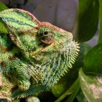 Veiled chameleon missing a leg
