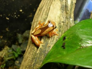 Clown tree frog on a piece of driftwood in the terrarium