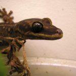 Australian velvet gecko