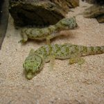 Fine sand as a substrate for Stenodactylus geckos