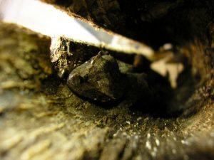 Leaf-tailed gecko asleep in a cork tube