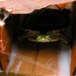 Painted turtle in aquarium looking at camera