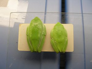 Female and male pair of Agalychnis moreletii