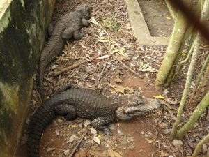 Two dwarf crocodiles in enclosure at the zoo in Yaounde