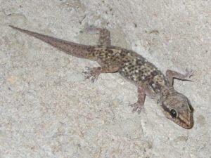 Gecko in Cameroon