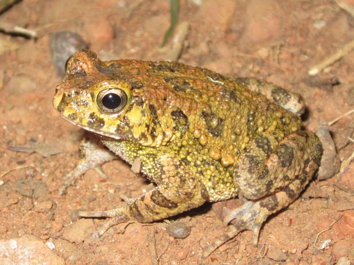 Amietophrynus regularis