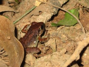 Unknown brown frog