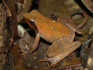 Phrynobatrachus auritus frog in Korup National Park