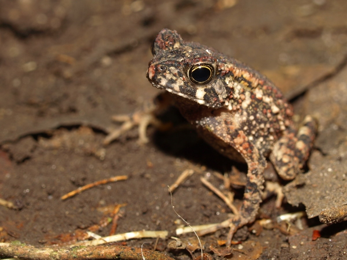 Sclerophrys gracilipes