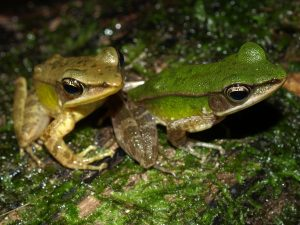 Two Amnirana albolabris on a moss covered log