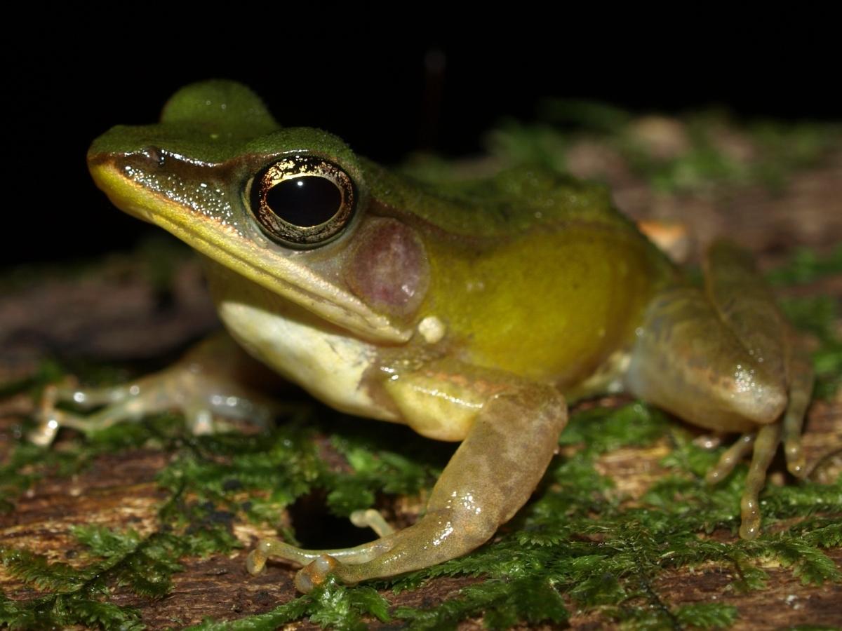 Amnirana albolabris in Cameroon