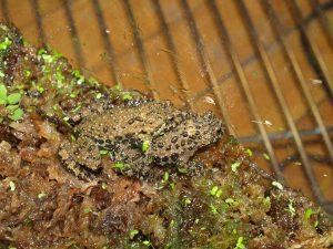 Fire-bellied toads