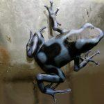 Dendrobates auratus 'blue and black'