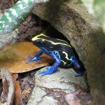 Dendrobates tinctorius 'Dwarf French Guiana Cobalt'