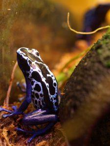 Dying poison dart frog Dendrobates tinctorius 'New River'
