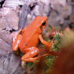 Black-eared mantella frog in the terrarium