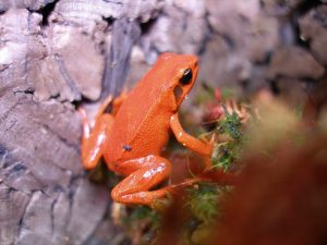 Black-eared mantella frog in the terrarium