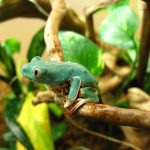 A tiger-leg monkey frog in the terrarium