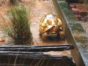 Ploughshare/angonoka tortoise (Astrochelys yniphora) at Ankarafantsika National Park