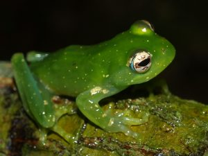 Boophis luciae at Ivohibe
