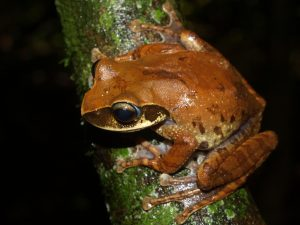 Boophis obscurus