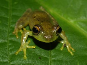 Boophis septentrionalis at Montagne d'Ambre National Park