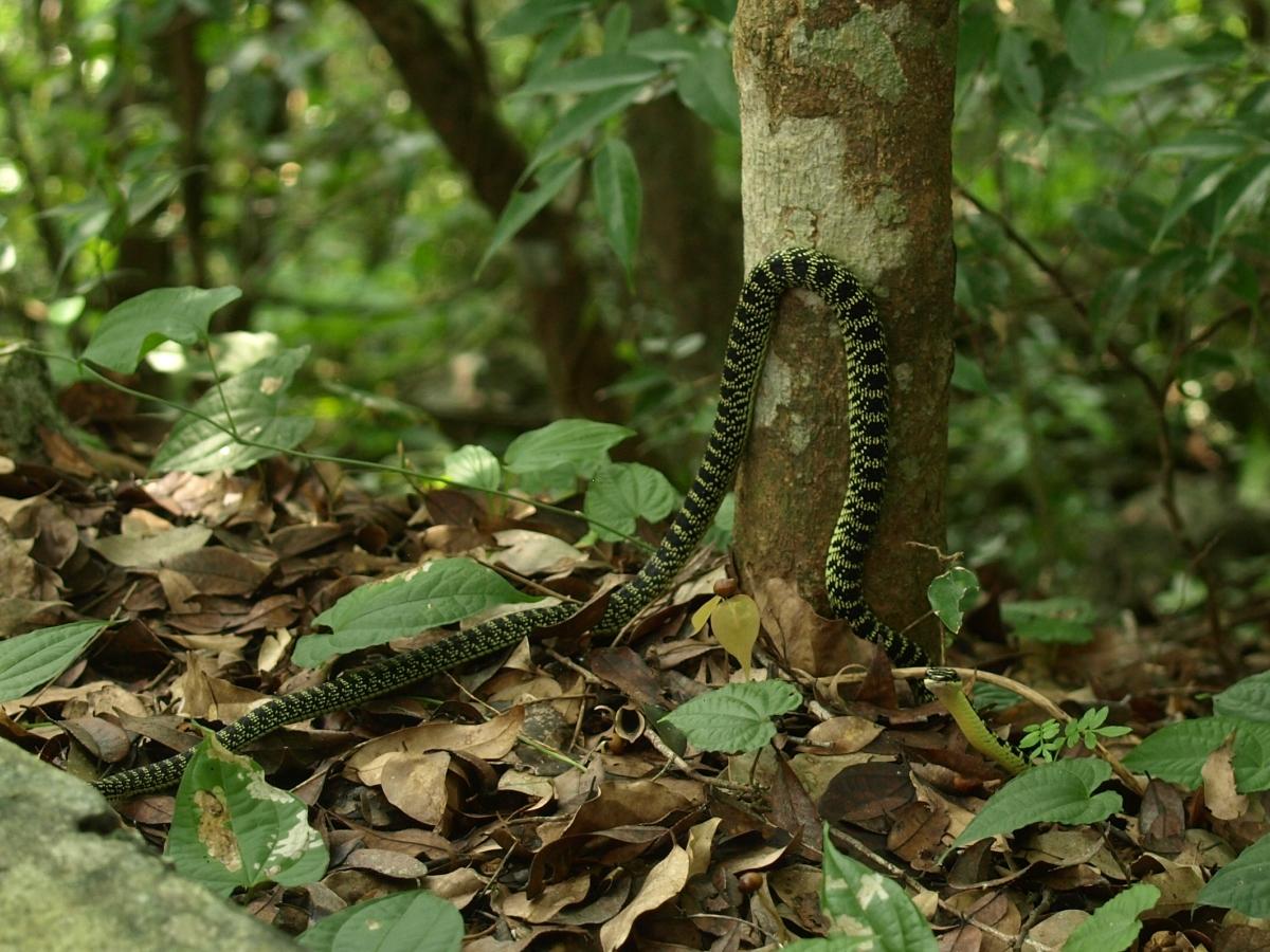 Flying snake! Chrysopelea ornata