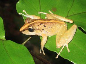 Craugastor crassidigitus or C. fitzingeri?