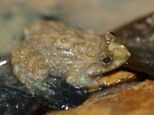 Hoplobatrachus tigerinus Juvenile