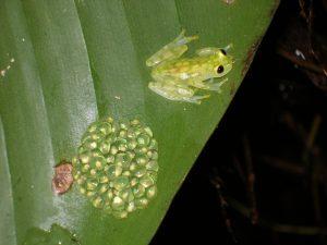 Hyalinobatrachium valeroi
