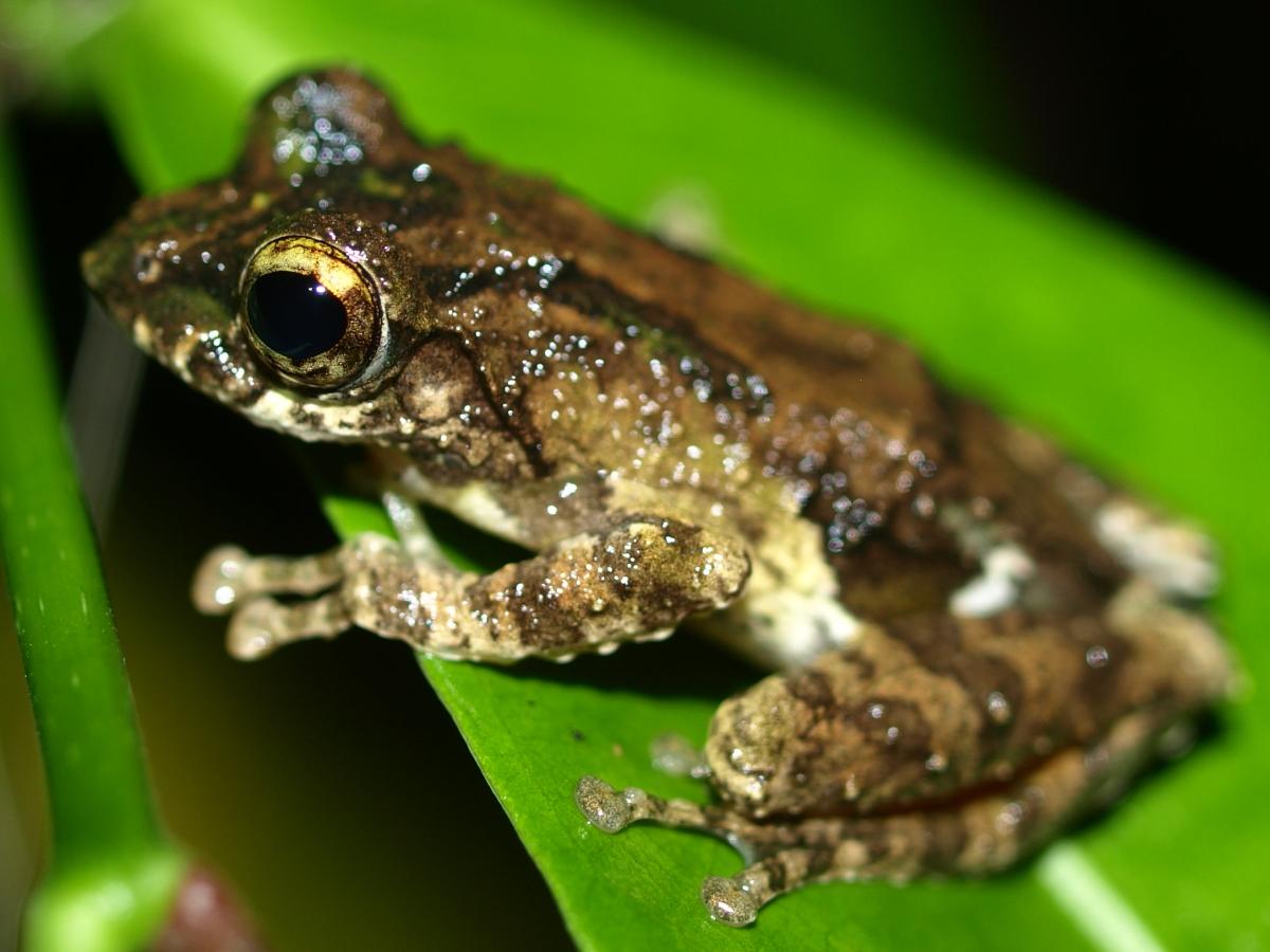 Kurixalus odontotarsus