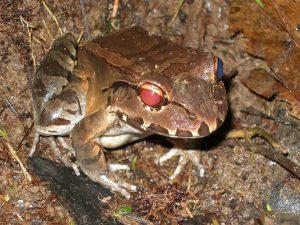 Smoky Jungle Frog (Leptodactylus pentadactylus)