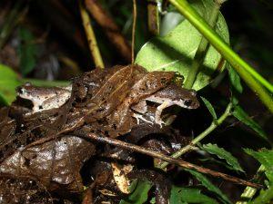 Leptolalax ventripunctatus