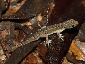 Lygodactylus tolampyae at Ankarafantsika