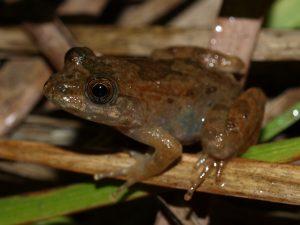 Mantidactylus aff. ulcerosus