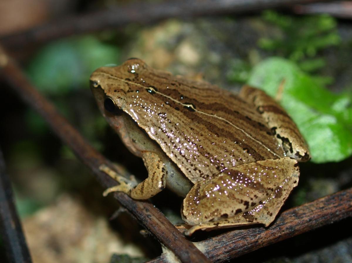 Microhyla heymonsi