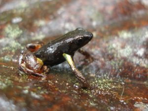 Mantella bernhardi at Ranomafana National Park