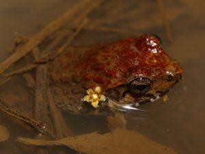 Mantidactylus bellyi
