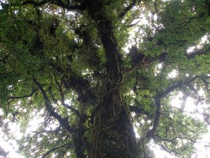 A tree at Monte Verde