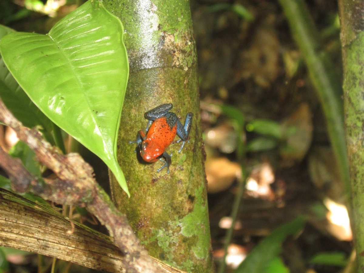 Oophaga pumilio at La Selva